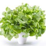 Употребление зеленых листовых овощей снижает риск инсульта